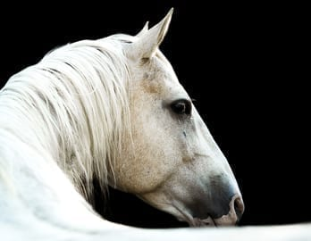 White Horse with a black background