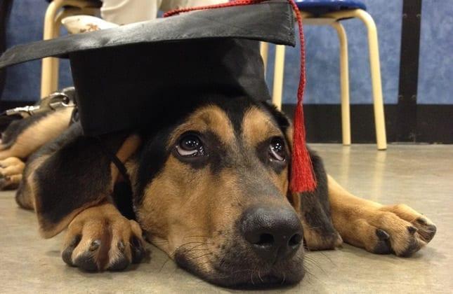 German Sheppard wearing a Graduation Cap.